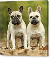 French Bulldogs Canvas Print