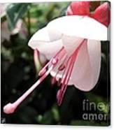 Fuchsia Named Liebelei Canvas Print