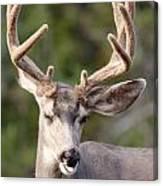 Funny Mule Deer Buck Portrait With Velvet Antler Canvas Print
