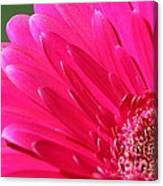 Gerbera Daisy Named Raspberry Picobello Canvas Print