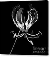 Glory Lily Canvas Print