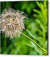 Goat's Beard Canvas Print