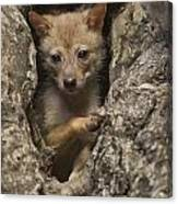 Golden Jackal Canis Aureus Cubs Canvas Print