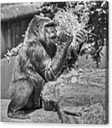 Gorilla Eats Black And White Canvas Print
