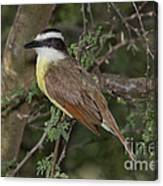Great Kiskadee Canvas Print