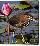 Green Heron Photo Canvas Print