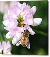 Honeybee On Crown Vetch Canvas Print