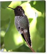 Hummingbird Hangout Canvas Print