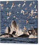Humpback Whales Feeding With Gulls Canvas Print