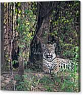 Jaguar Panthera Onca, Pantanal Canvas Print