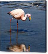 James Or Puna Flamingo Canvas Print