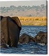 Kalahari Elephants Crossing Chobe River Canvas Print