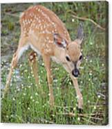 Key Deer Fawn Canvas Print