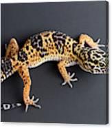 Leopard Gecko Eublepharis Macularius Canvas Print
