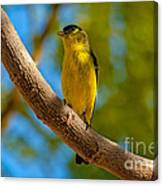 Lesser Goldfinch Canvas Print
