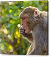 Macaque Eating An Orange Canvas Print