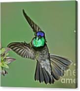 Magnificent Hummingbird Canvas Print