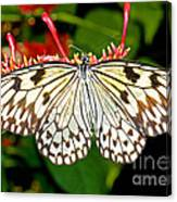 Malabar Tree Nymph Butterfly Canvas Print