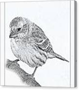 Male House Finch Sketch  Canvas Print