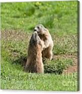 Marmots Canvas Print