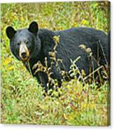 Meadow Black Bear Canvas Print