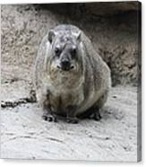 Rock Hyrax Headshot Canvas Print