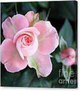 Miniature Pink Roses Canvas Print