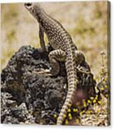 Mojave Desert Iguana Canvas Print