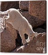 Mountain Goat Kid On Mount Evans Canvas Print