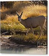 Mule Deer   #3950 Canvas Print
