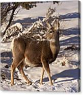 Mule Deer   #6339 Canvas Print