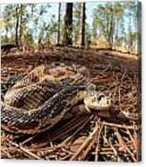 Northern Pine Snake Canvas Print