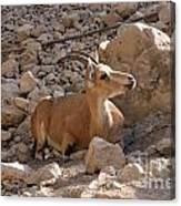 Nubian Ibex Canvas Print