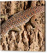 Ocellated Lizard Timon Lepidus Canvas Print