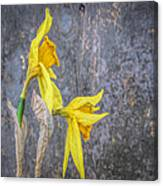 2 Old Daffodils Canvas Print