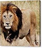 Old Lion Canvas Print