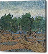 Olive Grove Canvas Print