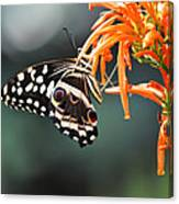 Orchard Swallowtail Canvas Print
