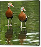 Pair Black-bellied Whistling-ducks Canvas Print