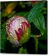 Peony With Rain Drops Canvas Print
