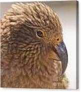 Portrait Of Nz Alpine Parrot Kea Nestor Notabilis Canvas Print