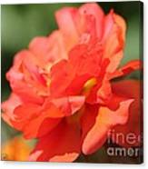 Portulaca Named Sundial Tangerine Canvas Print