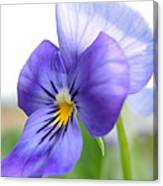 Purple And Blue Viola Canvas Print