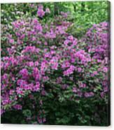 Purple Azaleas Canvas Print