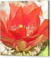Red Cactus Flower Canvas Print
