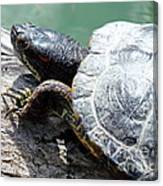 Red Eared Slider Canvas Print