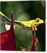 Red Eyed Tree Frog 1 Canvas Print