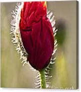 Red Poppy Bud Canvas Print
