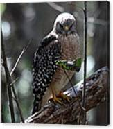 Red - Shouldered Hawk II Canvas Print