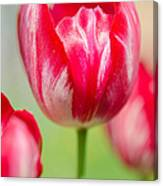 Red Tulips On The Green Background Canvas Print